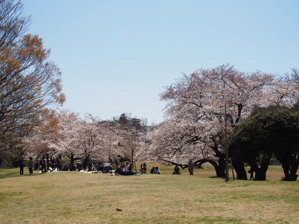 少年スポーツ広場の桜